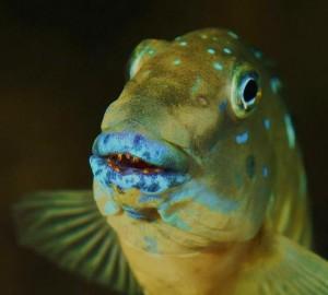 Ciklid-fisk