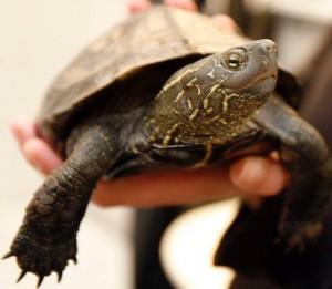 Sköldpadda – soppa