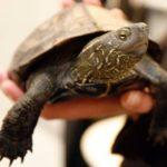 Sköldpaddan Ozzy har kommit hem!