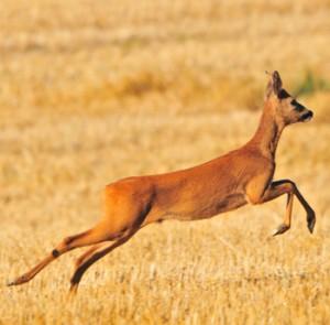 Rådjur - språkförbistring som roar