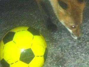 Fotbollsspelande räv
